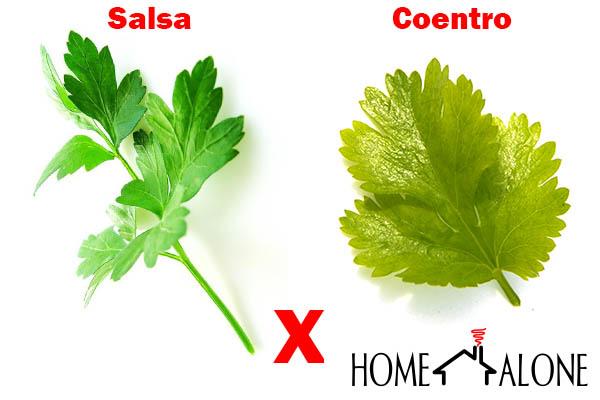 como diferenciar salsa e coentro